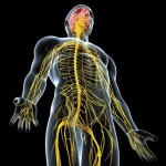 15181773-side-view-of-male-nervous-system-isolated-on-black-background1